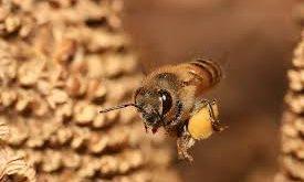 گرده گل زنبورعسل