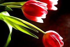 گرده گل لاله