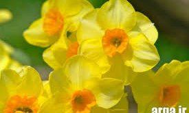 گرده گل نرگس