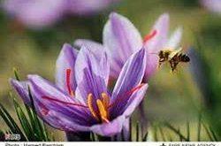 گرده گل زعفران