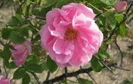گرده گل محمدی