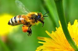 عسل کنار اصل